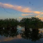 A flock of white ibis fly over several mangrove trees growing in the water along the Anhinga Trail in Everglades National Park, Florida. Mangroves are native to the Florida coast and are able to remove salt from water, either blocking it in their roots or secreting excess salt through their leaves.