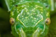 Walkingstick (Timema californicum) - pair mating<br /> CALIFORNIA: Monterey Co.<br /> Hastings Biological Preserve<br /> 9-May-2015<br /> J.C. Abbott &amp; K.K. Abbott