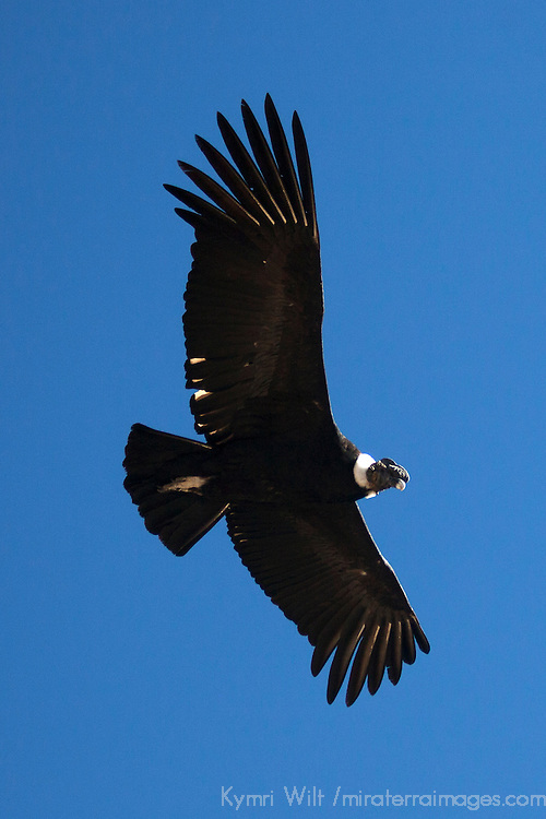 South America, Peru, Colca Canyon. Male Adult Andean Condor in sky.