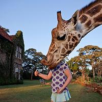 Third place, National Geographic Traveler Photo Contest 2011. Giraffe Manor, Nairobi, Kenya