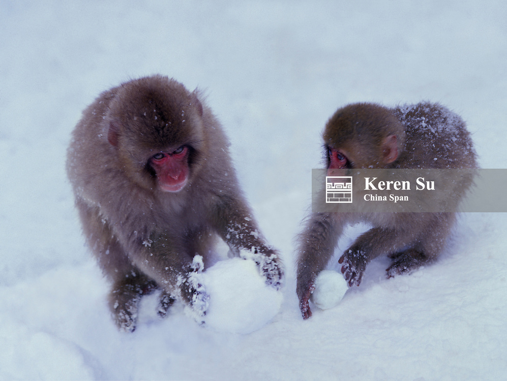 Japanese snow monkeys playing with snowballs, Japan