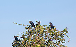 Red-tailed black cockatoos (Calyptorhynchus banksii) on Mandora Station.  The cockatoos are cavity nesters and seed eaters.