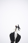 Red-crowned crane against a snowy white background, high-key and abstract.