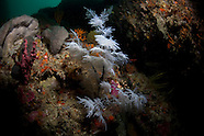 Lillipathes lilliei ( New Zealand black Coral)