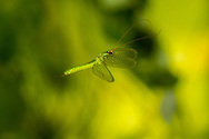 Green Lacewing (Chrysopa incompleta) flying<br /> United States: Alabama: Tuscaloosa Co.<br />Tulip Tree Springs off Echola Rd.; Elrod<br />20-Aug-2016<br />J.C. Abbott #2859