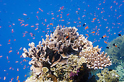 Various Anthias fish (pseudanthias) and Bicolor chormis (chromis margaritifer) schooling around coral on Agincourt Reef, Great Barrier Reef.