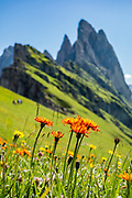 A hawkweed flower (Hieracium genus of sunflower) blooms in Alpe di Seceda, in the Geisler/Odle Group, Dolomites, South Tyrol, Italy, Europe. The beautiful ski resort of Selva di Val Gardena (German: Wolkenstein in Gröden; Ladin: Sëlva Gherdëine) makes a great hiking base in the Trentino-Alto Adige/Südtirol (South Tyrol) region of Italy. For our favorite hike in the Dolomiti, start from Selva with the first morning bus to Ortisei, take the Seceda lift, admire great views up at the cross on the edge of Val di Funes (Villnöss), then walk 12 miles (2000 feet up, 5000 feet down) via the steep pass Furcela Forces De Sieles (Forcella Forces de Sielles) to beautiful Vallunga (trail #2 to 16), finishing where you started in Selva. The hike traverses the Puez-Geisler Group from verdant pastures to alpine wonders to U-shaped Vallunga valley, all preserved in a vast Nature Park: Parco Naturale Puez-Odle (German: Naturpark Puez-Geisler; Ladin: Parch Natural Pöz-Odles). UNESCO honored the Dolomites as a natural World Heritage Site in 2009.