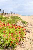 Beautiful orange gaillardia flowers growing in the sand at a Kitty Hawk beach.