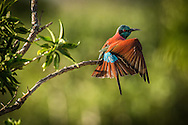 Northern Carmine Bee-eaters are fairly common in Tsavo West<br /> LIMITED EDITION PRINT