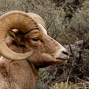 Big Horn Ram at Lava Creek Canyon, Yellowstone National Park, WY. April 2008