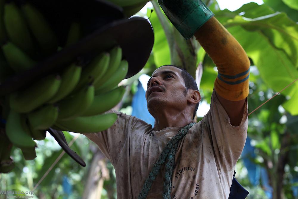 Heiner Loría Cordero, member of COOPETRABASUR, prepares a banana cluster for harvest. COOPETRABASUR, Corredores, Puntarenas, Costa Rica. August 30, 2012.