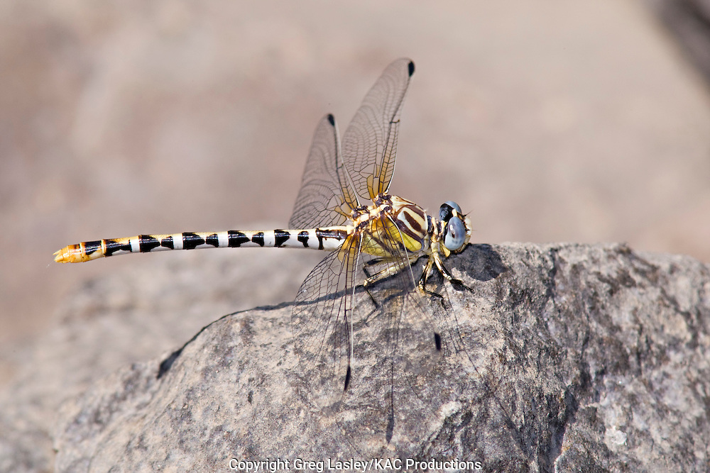 White-belted Ringtail.Erpetogomphus compositus.female.John Day River.near Spray,.Wheeler Co., Oregon.31 July 2008 dragonfly