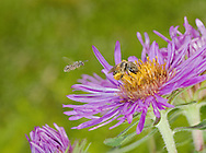A very small Lasioglossum sweat bee approaches an aster and Halictus sweat bee (Halictus ligatus). South Carolina.