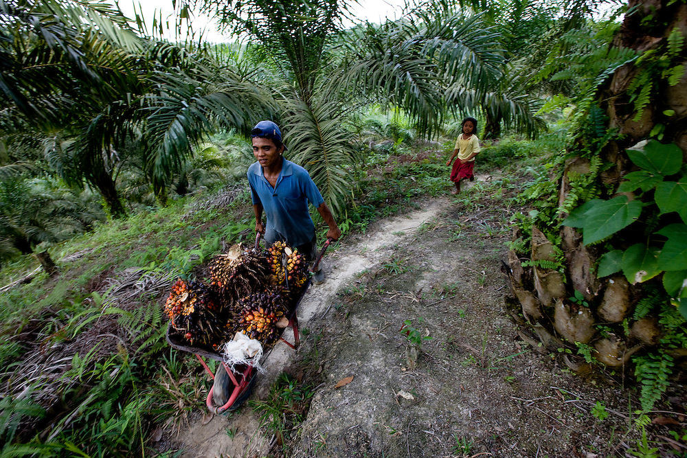 Aman Saputra and his children carry palm oil seeds. His oldest child Suci (yellow shist) is 11 years old. She helps her father in the fields when not in school near Perawang, Sumatra, Indonesia, Aug. 31, 2008..Daniel Beltra/Greenpeace