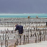 Zanzibar : Seaweed farming
