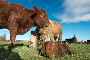 """I had """"breakfast"""" today with a very nice cow and her brand new, hours-old, wobbly-legged calf seen here, born this morning. Mama and an auntie eat some nice hay as baby rests in between being licked clean. It was so fun ... like a field of puppies. I watched one week-old calf lying on his side asleep in the sun, dreaming and making suckling sounds and movements with his lips. I love having nice farmer neighbors—thanks, Jerry and Mary at Freedom Farms."""