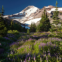 OR01684-00...OREGON - Lupine covered meadow below Mount Hood in Elk Cove in the Mount Hood Wilderness area.