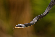 Southern Black Racer (Coluber constrictor priapus), The Legacy Club's trip to Little St. Simon's Island, Georgia, 2013.