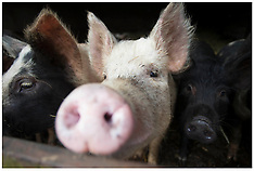 DEC 05 2013 File Pictures -UK and China agree £45m pig semen export deal