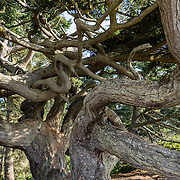 Ancient, twisted, 850-year-old Douglas Fir tree (Pseudotsuga menziesii), on West Beach Trail, Deception Pass State Park, Whidbey Island, Washington, USA. In this scenic park, an old growth evergreen forest meets the turbulent waters of Deception Pass, a strait which separates Whidbey Island from Fidalgo Island and connects Skagit Bay (part of Puget Sound), with the Strait of Juan de Fuca. Tidal current speeds reach 8 knots (9 mph) and create standing waves, large whirlpools, and roiling eddies visible from the shoreline and from spectacular Deception Pass Bridge, which spans 976 feet long, 180 feet above the water.