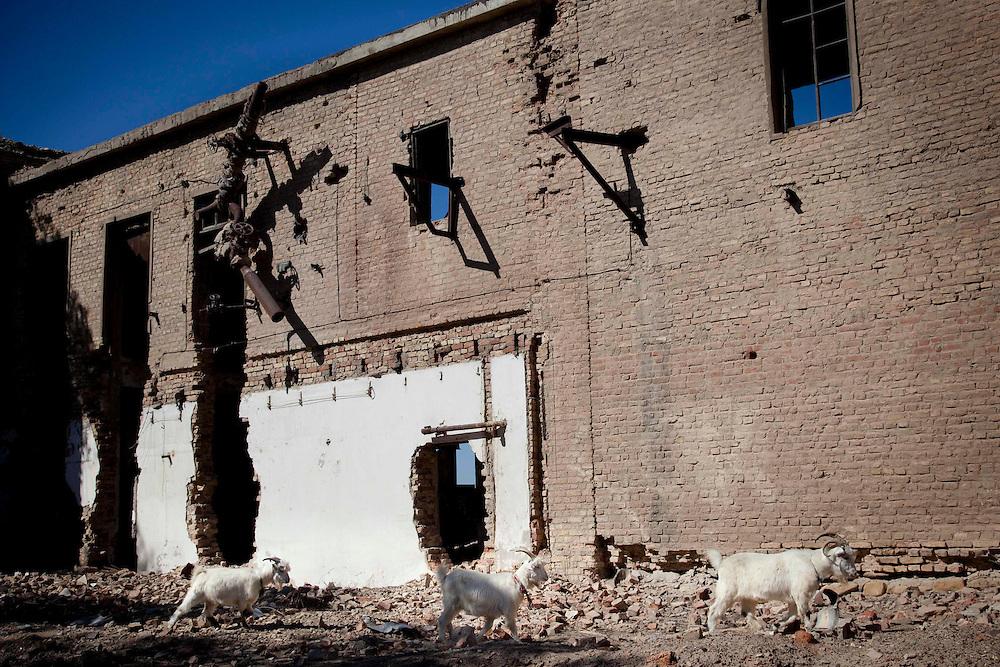 Goats walk by devastated fish processing factory in Moynak, Uzbekistan.