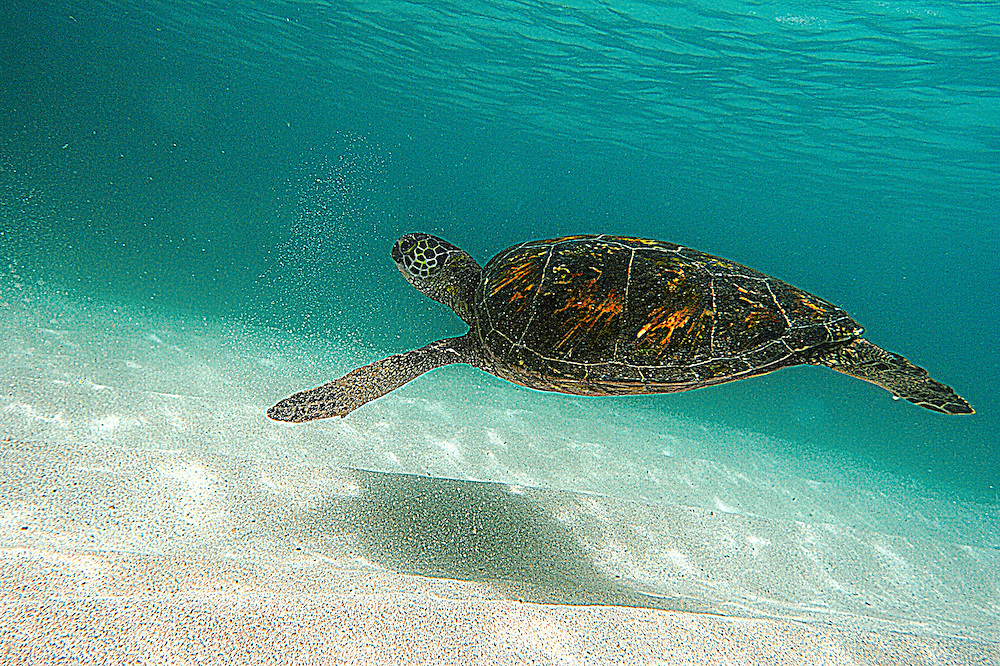 turtle swimming hawaii water