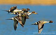 Courtship Flight
