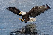 Alaska Bald Eagles 2015