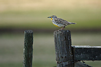 I have been trying to find a meadowlark all through the spring a couple of weeks without much success.  I've seen a couple, but never managed to make any great images.  I was very excited to find this one happily singing away on a fencepost.  Their song is even more beautiful than the bird!..©2009, Sean Phillips.http://www.Sean-Phillips.com