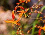 Montbretia (Crocosmia × crocosmiiflora) an introduced perennial from Africa grows well on all Hawaiian Islands.