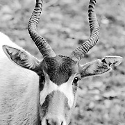 Soul Survival: Addax (Scientific name: Addax nasomaculatus)<br />