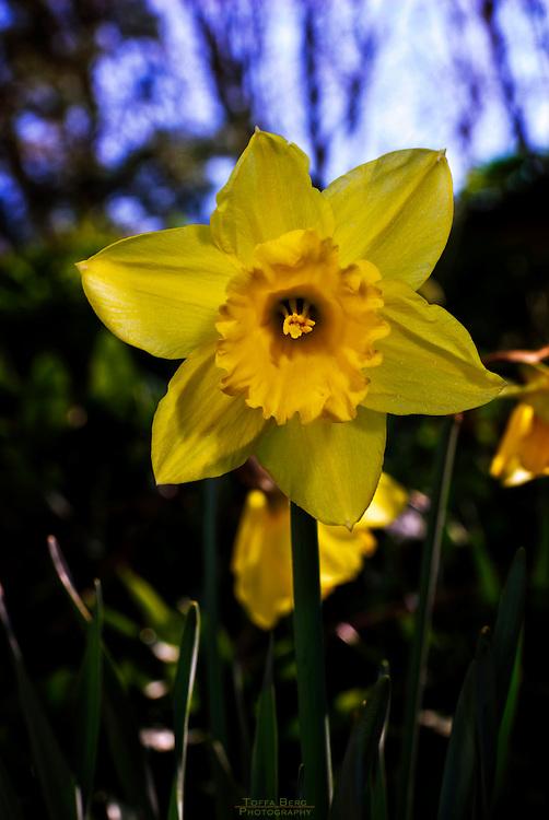 Daffodil, a spring sign.