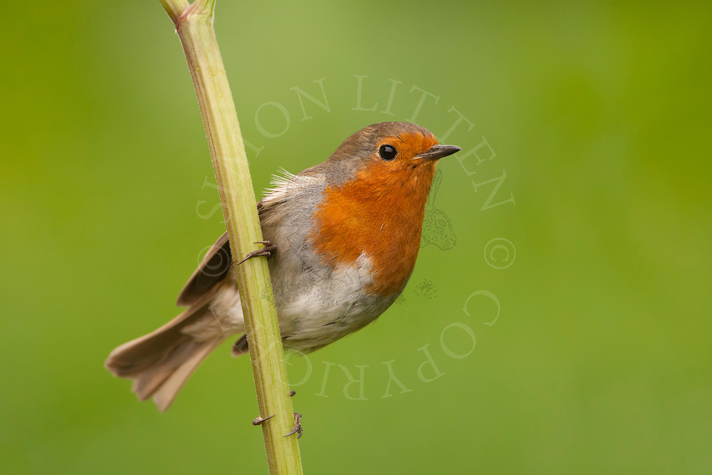 European Robin (Erithacus rubecula) adult, perched on cow parsley stem, spring, Norfolk, UK.
