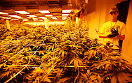 Grow manager Peter Lottman looks over his crop under the sodium grow lights at a medical marijuana center in Denver April 2, 2012.  With Colorado voters set in November to decide whether to defy the federal government and legalize marijuana for recreational use under state law, the enforcement division could play a key role in bringing a black market pot trade out of the shadows.  REUTERS/Rick Wilking (UNITED STATES)