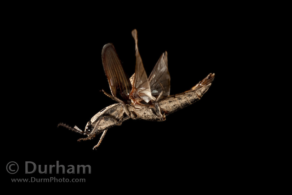 An eyed-elater (also click beetle) (family elateridae) flying at night. When beetles fly, they lift the hard forewing (elytra) and extend their soft wings for flight. Lost Pines Forest, Central Texas.