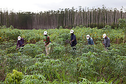 Agricultores sem terra cultivam mandioca nas terras da Empresa Veracel.<br /> Eun&aacute;polis, BA - Brasil.<br /> <br /> Landless farmers grow cassava inside  Veracel Company lands.<br /> Eun&aacute;polis city, Bahia State - Brazil.