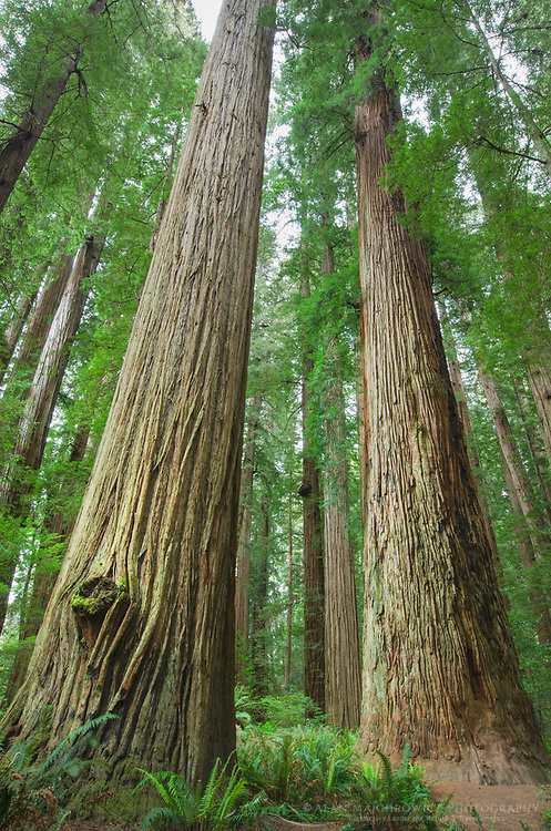 Ancient Redwoods (Sequoia sempervirens) of the Stout Grove in Jedidiah Smith Redwoods State Park California