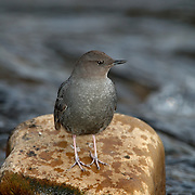 American dipper in the Yaak River. Yaak Valley in the Purcell Mountains, northwest Montana.