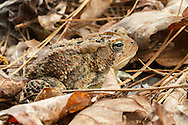 Fowler's Toad (Anaxyrus fowleri)<br /> ALABAMA: Tuscaloosa Co.<br /> Tulip Tree Springs off Echola Rd.; Elrod<br /> 30-April-2016<br /> J.C. Abbott #2806 &amp; K.K. Abbott