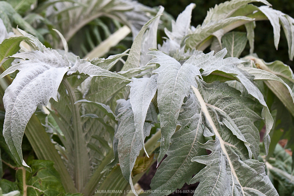 Cardoon (Cynara cardunculus).The giant, thistle-like cardoon is a statuesque perennial equally suited to both the vegetable garden and perennial border. Also called the artichoke thistle, cardone, cardoni, carduni or cardi, It is a naturally occurring variant of the same species as the Globe artichoke, and has many cultivated varieties. It is native to the Mediterranean, where it was domesticated in ancient times.