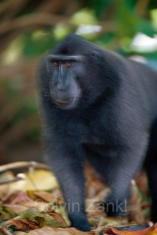 The dominant male Celebes Crested Macaque is coming to settle a fight. | Das dominante Schopfmakaken-Männchen kommt, um einen Streit zu schlichten.