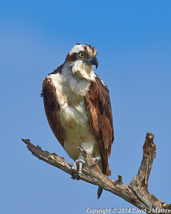 Morning Osprey Lookout at Merritt Island National Wildlife Refuge. Image taken with a Nikon D4 camera and 600 mm f/4 VR lens (ISO 140, 600 mm, f/8, 1/1250 sec)