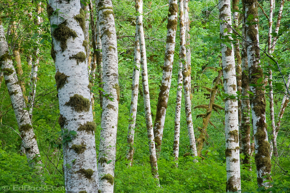 Red Alder tree trunks in a forest with an understory of springtime Vine Maple in the Duckabush River Valley of Olympic National Forest, Washington, USA