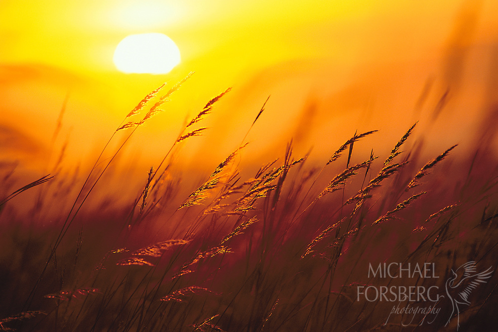 Spring Creek Prairie, Nebraska.  Windblown arms of Indian grass and big bluestem wave farewell to the day as the orange orb of the sun sets on the distant horizon. Big bluestem, Indian Grass and switchgrass are predominant grasses in the tallgrass prairie, sometimes stretching 6 to 12 feet in height by the end of the growing season. With only two percent of native tallgrass remaining, it is one of the most endangered habitats on the continent, most of it lost to the plow to farmers seeking its rich dark soils. Its remaining protected areas have become living memorials to its glorious past, and still harbor an amazing diversity of life.