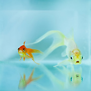 A male and female pair of goldfish swimming in a fishtank, taken in a studio