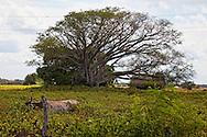 Cow grazing near Manuel Lazo, Pinar del Rio, Cuba.