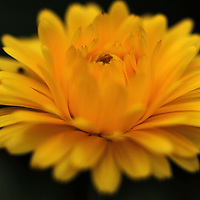 Flower fine art photography artwork featuring a yellow unknown type of flower. This abstract flower photography image of a yellow floral is available as museum quality photography prints, canvas prints, acrylic prints or metal prints. Prints may be framed and matted to the individual liking and decorating needs:<br />