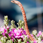 Red Racer snake in Texas Sage