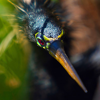 An anhinga searches for prey along the Anhinga Trail in Everglades National Park.