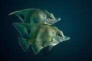 Zanclistius elevatus (Long-finned boarfish)